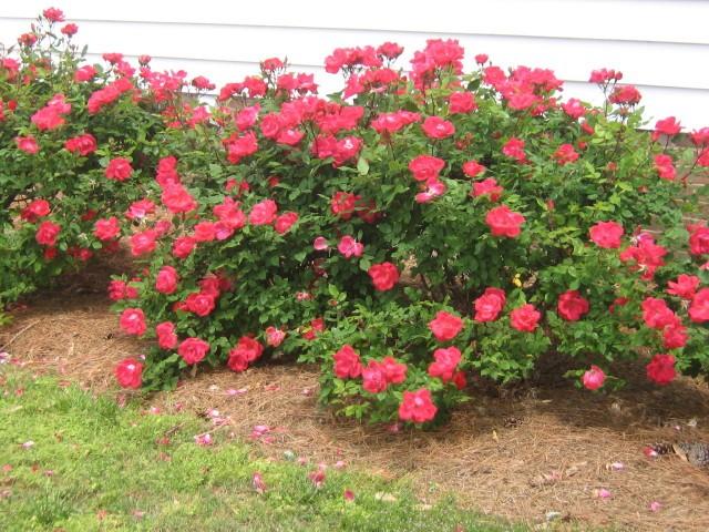 Roses at Bayview
